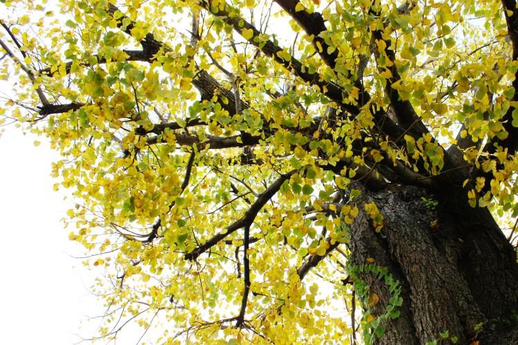 다이쇼 신명 궁의 은행나무(거목)