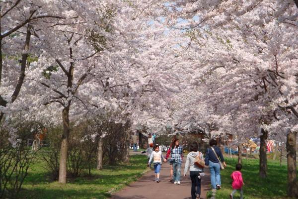 츠가루 후지미호 벚꽃축제